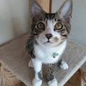 犬猫同居中 キジ白子猫 風くん