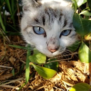 【動画あり】ブルーアイの白猫ユキちゃん♡