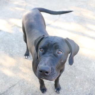 土佐犬ブラック メス 約10ヶ月半