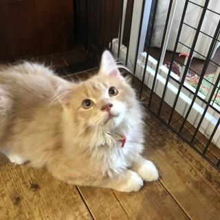 美男子ノルウェージャンの子猫