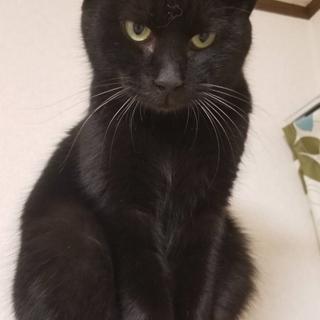 ワイルド顔のイケメン黒猫★ノエル