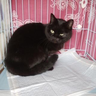 ヒマラヤン×ブリティッシュつやつや黒猫9歳(♀)