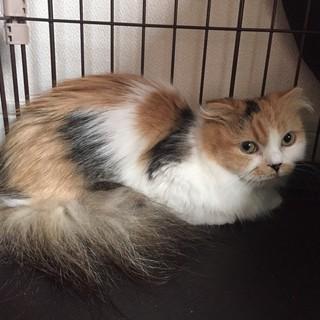 洋猫✖三毛猫MIX★たれ耳・短足・長毛の美猫りんご