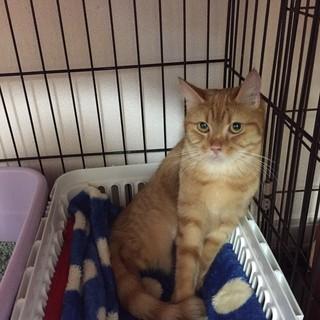 長いしっぽ&明るい色あいの茶トラ猫マカちゃん