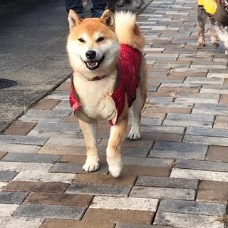 とっても甘えんぼの柴犬の福丸くんです!!
