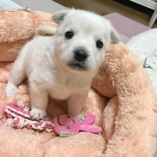 12月上旬生まれの子犬♀白