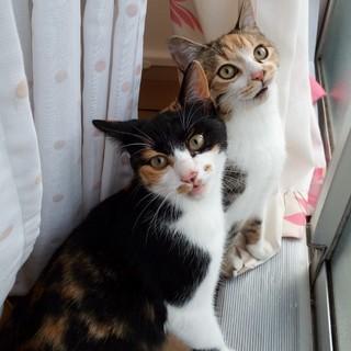 アナとエルサの様なミケ子猫姉妹