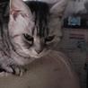 廃業繁殖屋から保護、家猫修行中のアメショ女子