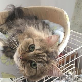 まんまる大人しい成猫 テン君★ペルシャ
