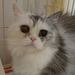ミヌエット☆姫☆短足・長毛・2歳・女の子