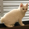 生後2ヶ月の真っ白な女の子、クリスティ サムネイル4