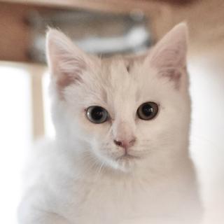 生後2ヶ月の白猫、オッドアイのデヴィッド