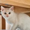 生後2ヶ月の白猫、オッドアイのデヴィッド サムネイル2