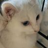 生後2ヶ月の白猫、オッドアイのデヴィッド サムネイル3