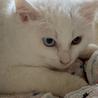 生後2ヶ月の白猫、オッドアイのデヴィッド サムネイル4