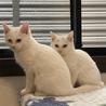 生後2ヶ月の白猫、オッドアイのデヴィッド サムネイル5
