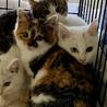 生後2ヶ月の白猫、オッドアイのデヴィッド サムネイル6