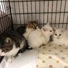 生後2ヶ月の白猫、オッドアイのデヴィッド サムネイル7