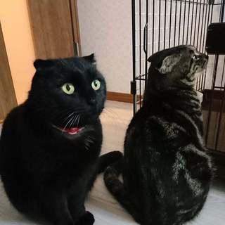 耳折れアメショ風☆ナツ君&ハルちゃん☆
