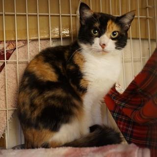 美しい三毛猫・奄美のセイシカ、医療・しつけ済
