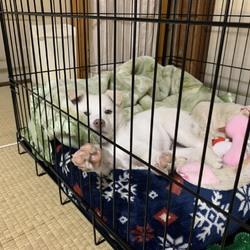 譲渡犬(R1/9下旬生まれ)の噛みぐせサムネイル