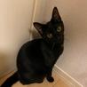 5月生まれの子猫 甘えん坊な黒猫のアン♀