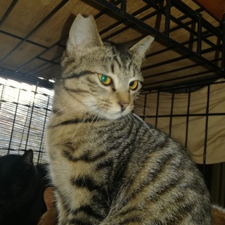 超甘えん坊のゴロゴロアオ君キジ猫5か月