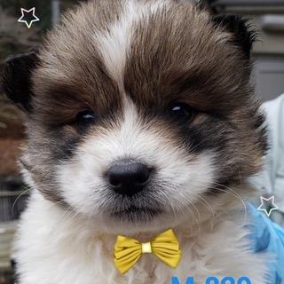 個体番号:M829 可愛い仔犬ちゃん