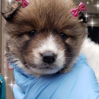 個体番号:W832 モコモコ可愛仔犬