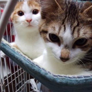 明るく活発な兄弟猫♪てんとマロン4か月