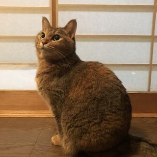 青い瞳の麦わら猫 ちーちゃん