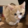 チャ白の保護猫 食いしん坊ハリーの里親さん募集中!