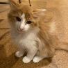 チャ白中毛の保護猫 クールなロランの里親募集中!