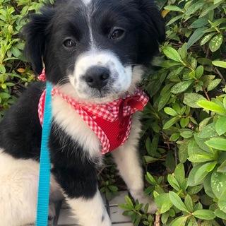 ボーダーコリーMIX 子犬