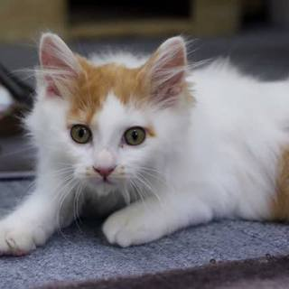 長毛子猫 茶白♂