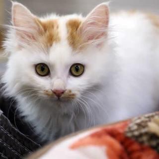 長毛子猫 茶白♀
