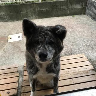 秋田犬 綺麗な虎毛の女の子です。3歳8カ月