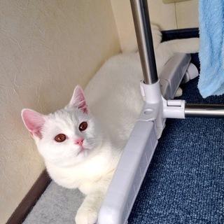 【受付一時中止】里親募集 人懐っこい白猫