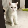 【受付一時中止】里親募集 人懐っこい白猫 サムネイル2
