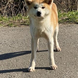 可愛い秋田犬の女の子