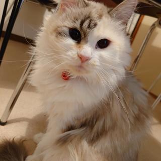 ふわふわ長毛美猫ちゃん。