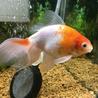 自宅で生まれた金魚の里親さん募集です サムネイル2