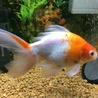 自宅で生まれた金魚の里親さん募集です サムネイル3