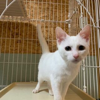 甘えん坊のイケメン白猫★わっぱくん