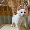 甘えん坊のイケメン白猫★わっぱくん サムネイル2