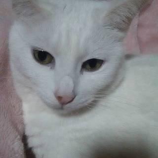 真っ白できれいな猫です。