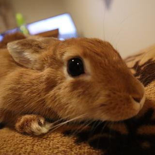 【里親募集】ミニウサギのほっぷちゃん。♀