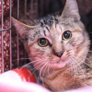 ムギワラ色の美猫 サフラン