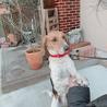10歳 ビーグル犬 りく サムネイル3