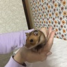 ゴールデンハムスター(生後4ヶ月) サムネイル2